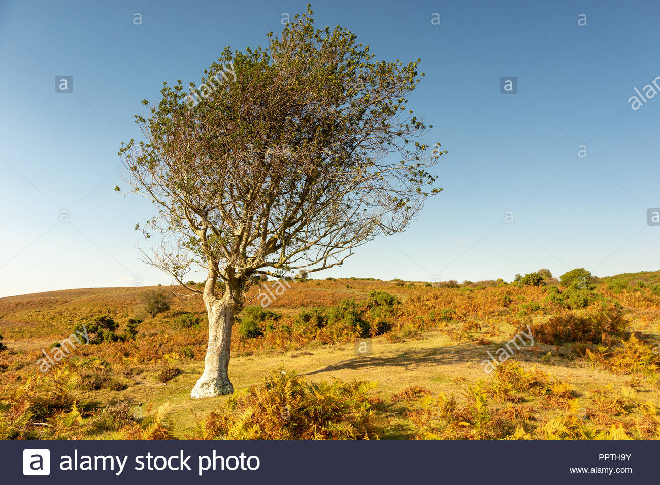 New Forest, Hampshire, UK, 27th September 2018. Unseasonably warm weather in the south of England with a clear blue sky and temperatures reaching 22 degrees. A tree, shaped by the wind, appears to bask in the warm sunshine. Credit: Paul Biggins/Alamy Live News Stock Photo