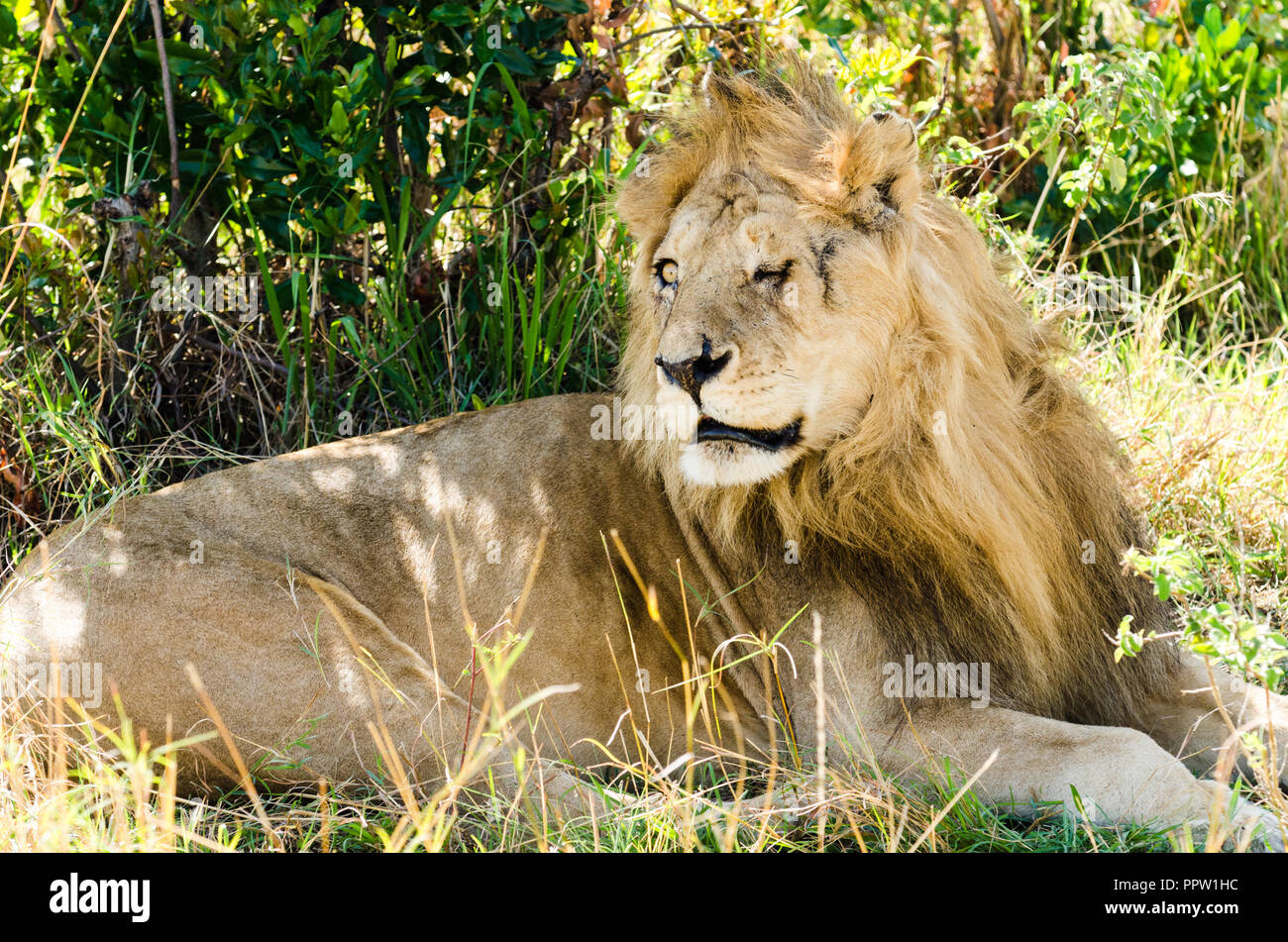 Adult lion with a scarred face, Maasai Mara National Reserve, Kenya Stock Photo