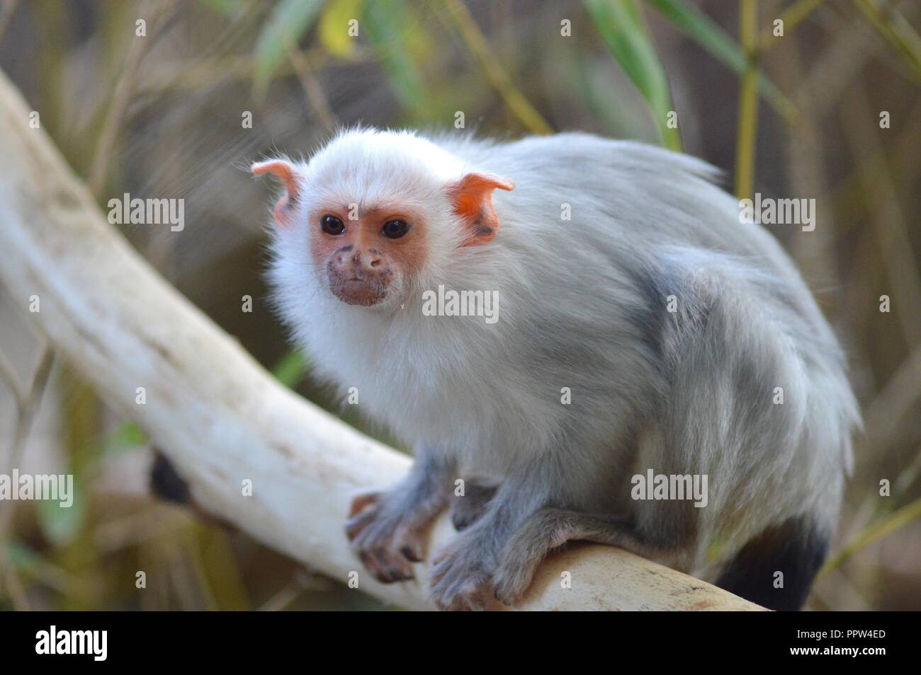 Silvery marmoset portrait - Stock Image