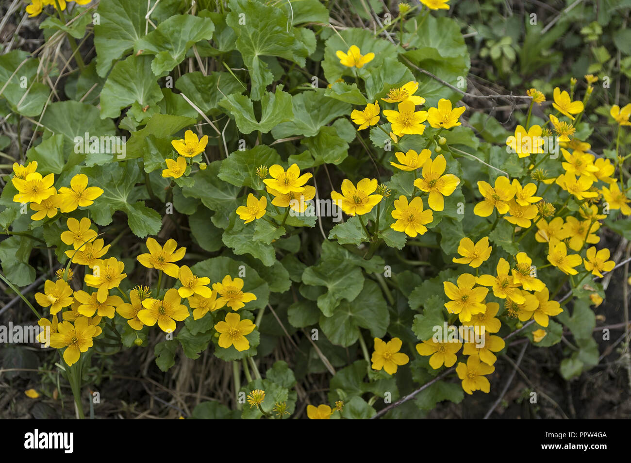 Caltha palustris, known as marsh-marigold and kingcup. Stock Photo