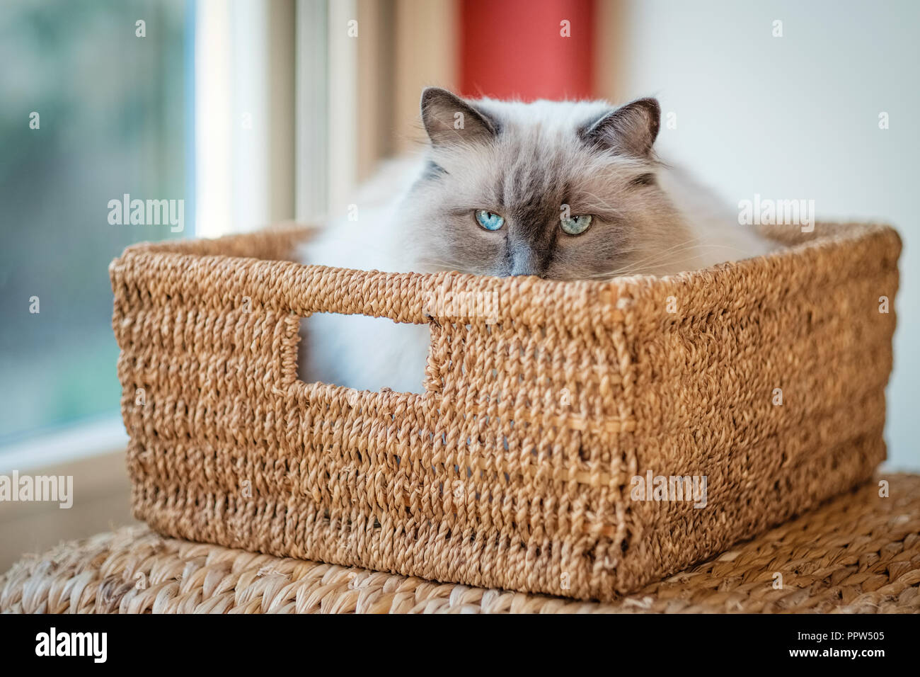 Nice Ragdoll cat, lying in a basket. Developed by American breeder Ann Baker, it is best known for its docile temperament and affectionat nature - Stock Image