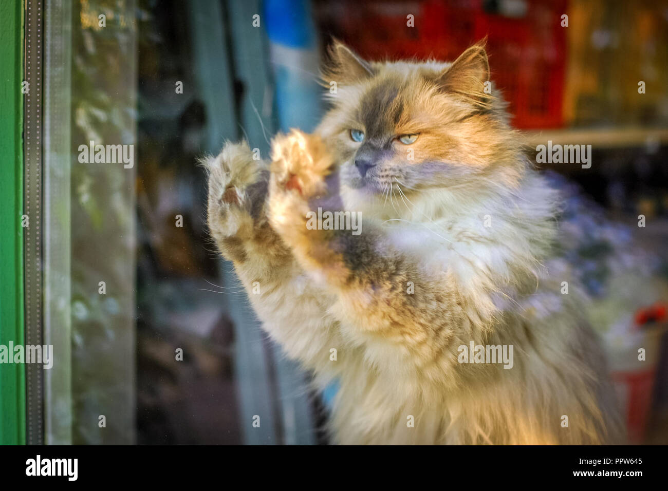 Ragdoll cat wants to go outside but doesn't know a way through the window. The Radgoll is known for its docile temperament and affectionate nature - Stock Image
