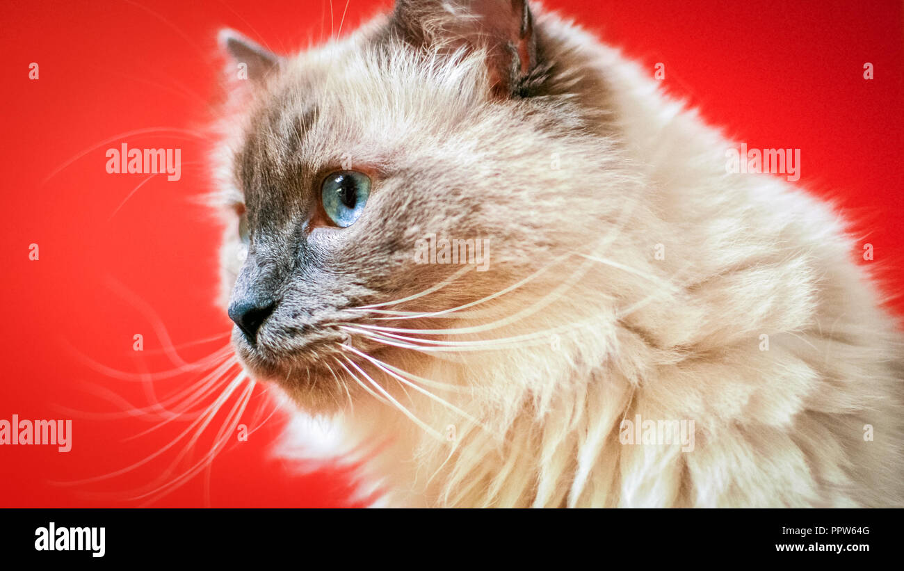 Ragdoll cats are best known for its docile temperament and affectionate nature. The name is derived from the tendency to go limp when picked up. - Stock Image