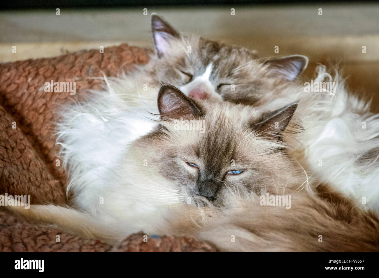 Two nice Ragdoll cats. It is best known for its docile and placid temperament and affectionate nature. - Stock Image