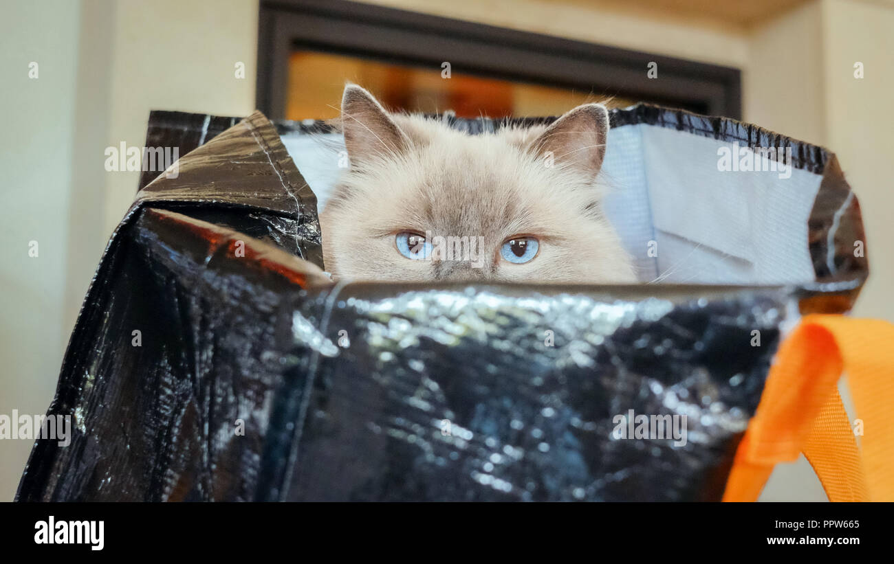 Ragdoll cat sitting in a shopping bag. There is a Dutch saying 'to buy a cat in the bag' that means the same as the English 'to buy a pig in a poke' - Stock Image
