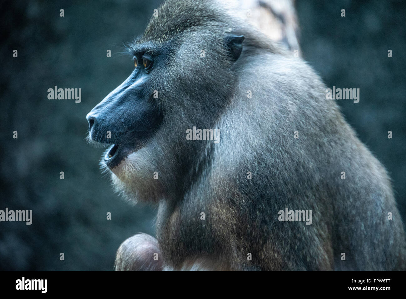 African Drill Stock Photos & African Drill Stock Images - Alamy