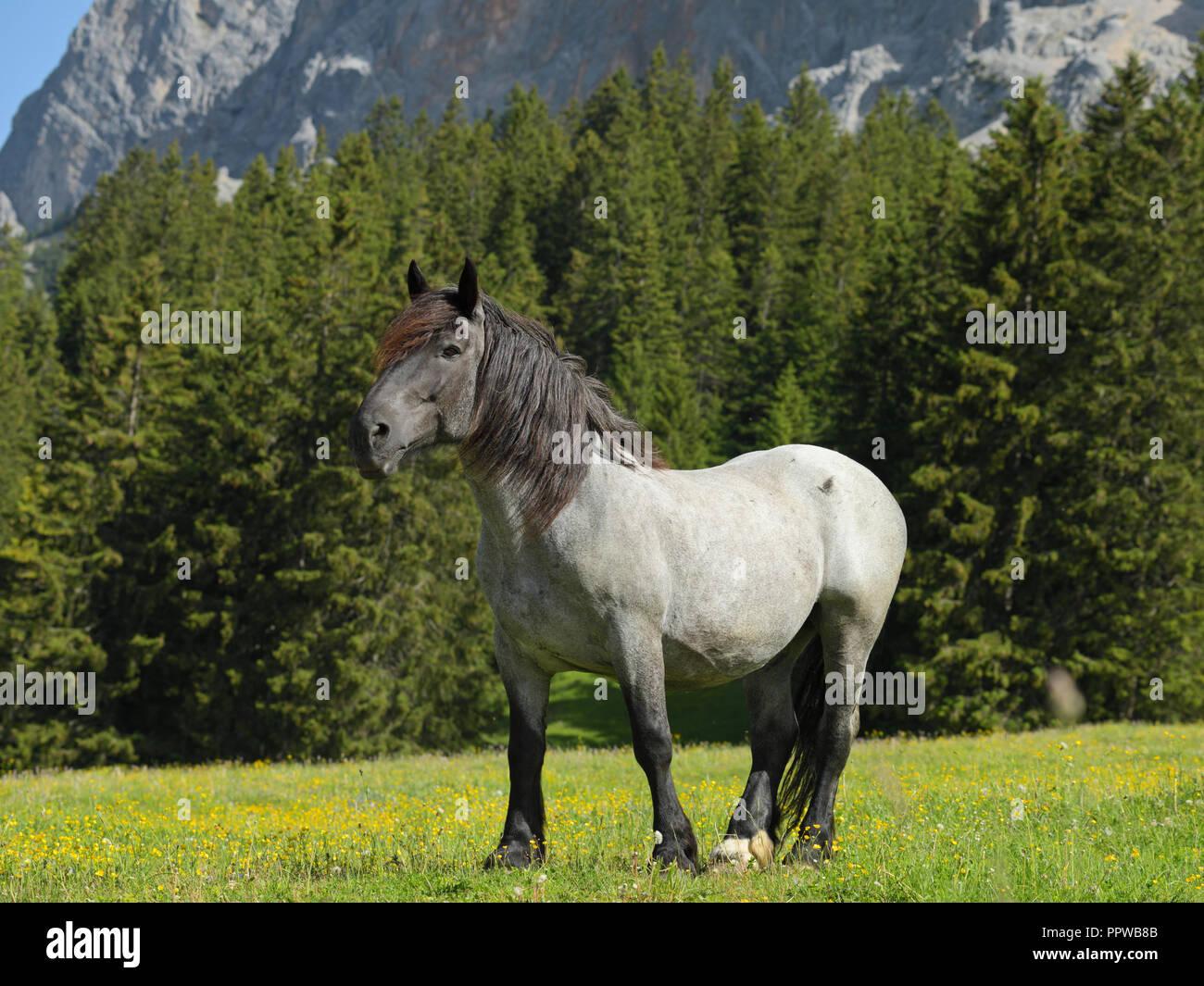 Heavy horse at Ehrwald alp, Tyrol, Austria - Stock Image