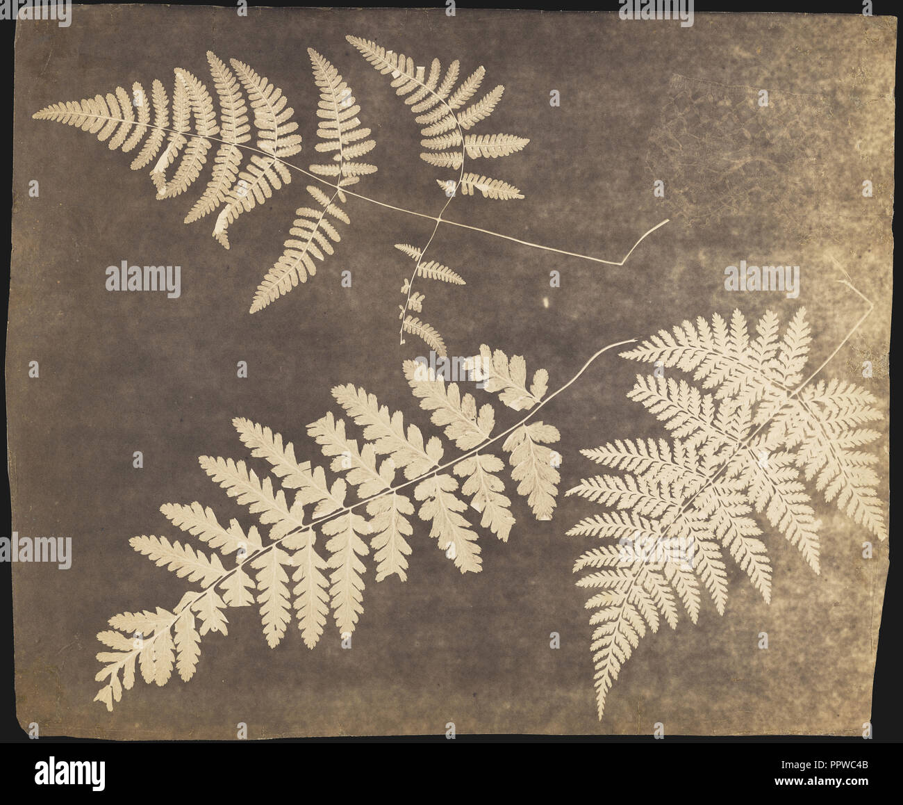 Fern Leaves; British; about 1850?; Photogenic drawing; 26.4 × 32.4 cm, 10 3,8 × 12 3,4 in - Stock Image
