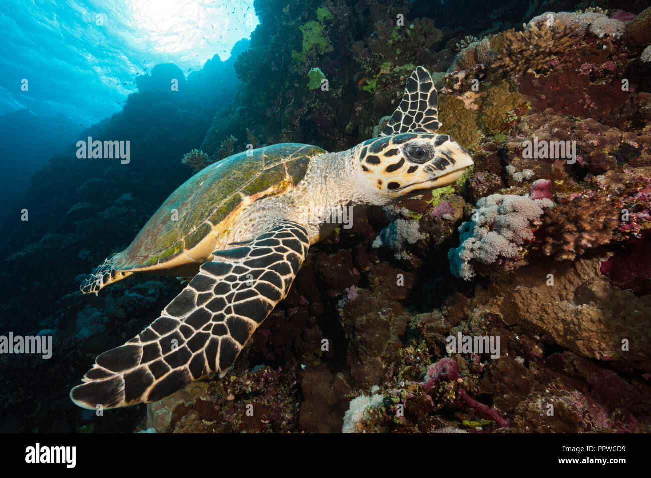 Hawksbill Sea Turtle, Eretmochelys imbricata, Brother Islands, Red Sea, Egypt Stock Photo
