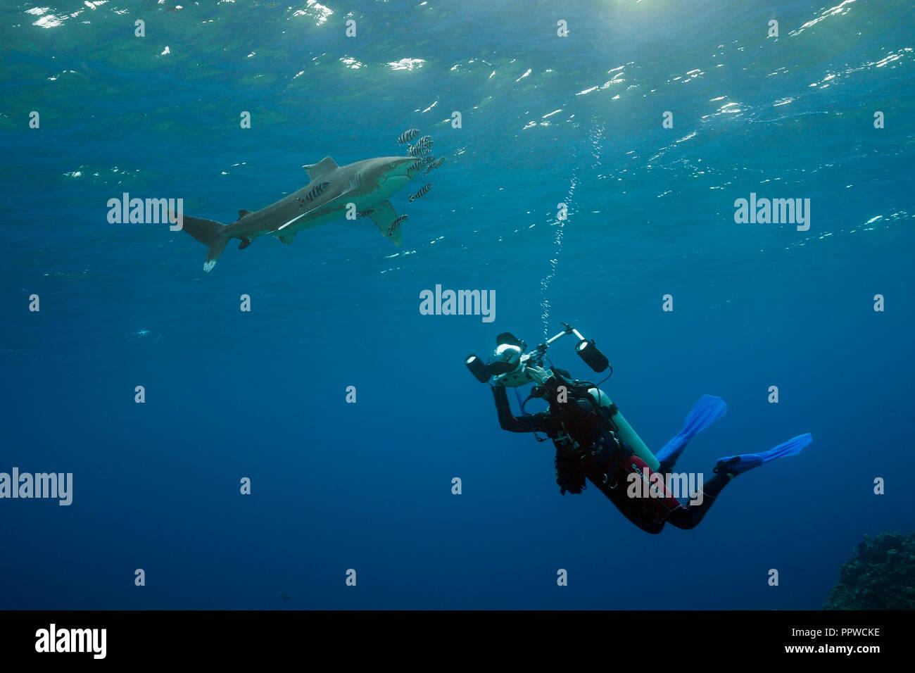Diver taking photo of Oceanic Whitetip Shark, Carcharhinus longimanus, Brother Islands, Red Sea, Egypt Stock Photo