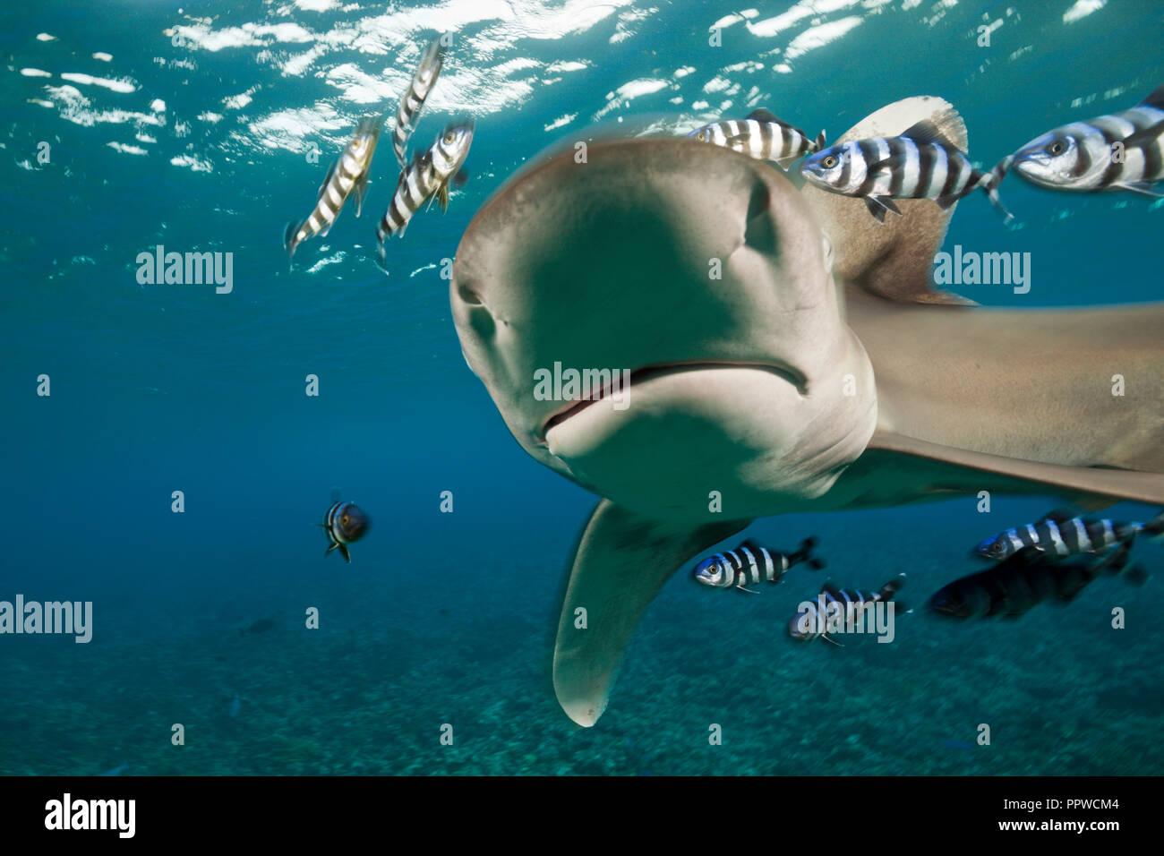 Oceanic Whitetip Shark, Carcharhinus longimanus, Brother Islands, Red Sea, Egypt - Stock Image