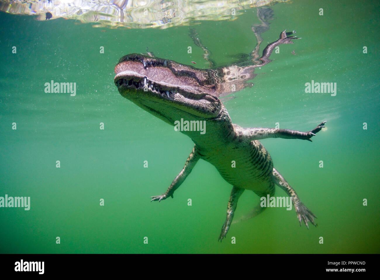 Juvenile American Crocodile, Crocodylus acutus, Florida, Everglades, USA - Stock Image