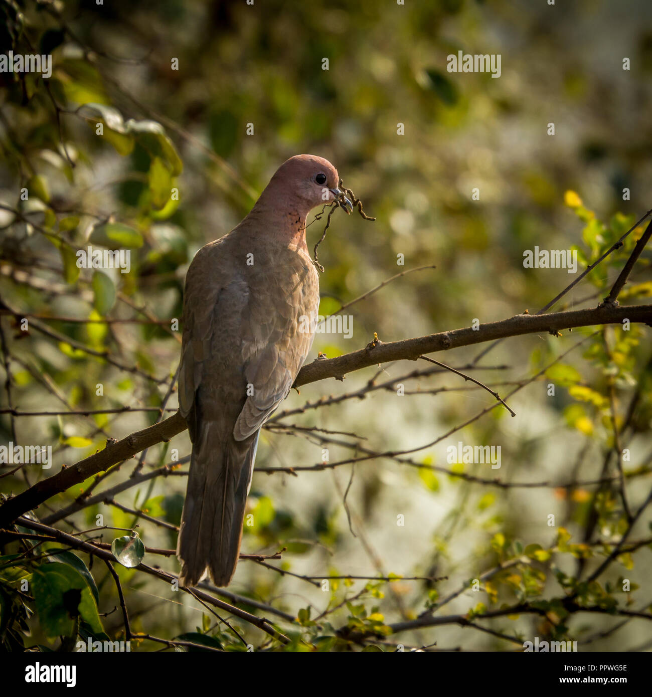 Dove with twigs in mouth at Keoladeo Bird Sanctuary, Rajasthan - Stock Image