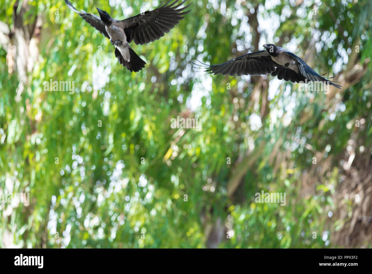 Two Bird Crow Fly Flying in a Green Forest Fear in Blue sky darkness and death - Stock Image