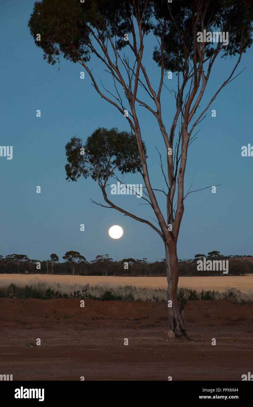 Hyden Australia, rising moon over wheat fields with silhouetted gum tree - Stock Image
