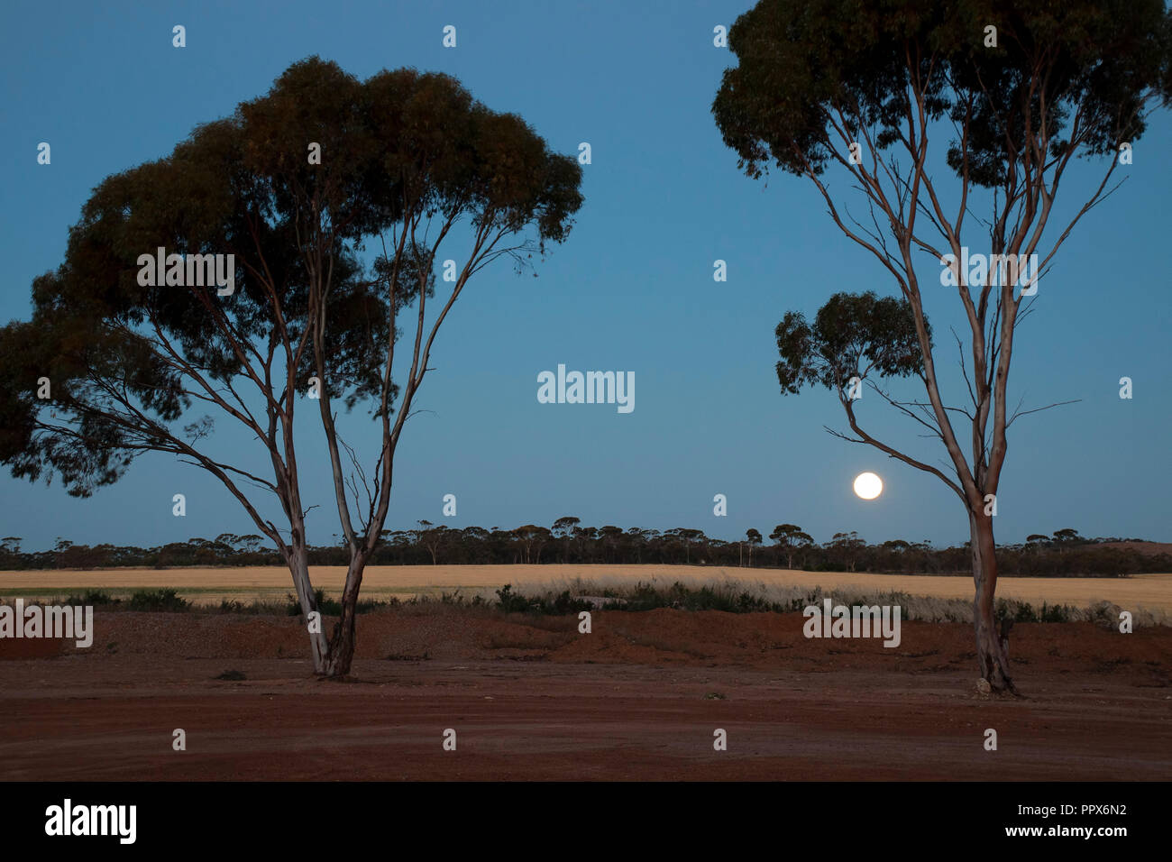 Hyden Australia, rising moon over wheat fields with silhouetted gum trees - Stock Image