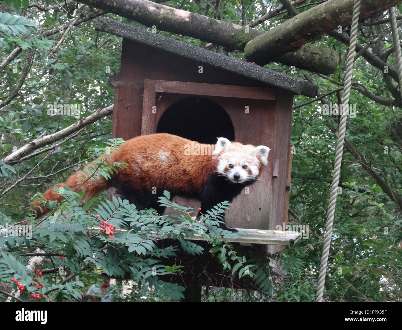 Red Panda, The Highland Wildlife Park, Kingussie, Highland, Scotland Stock Photo