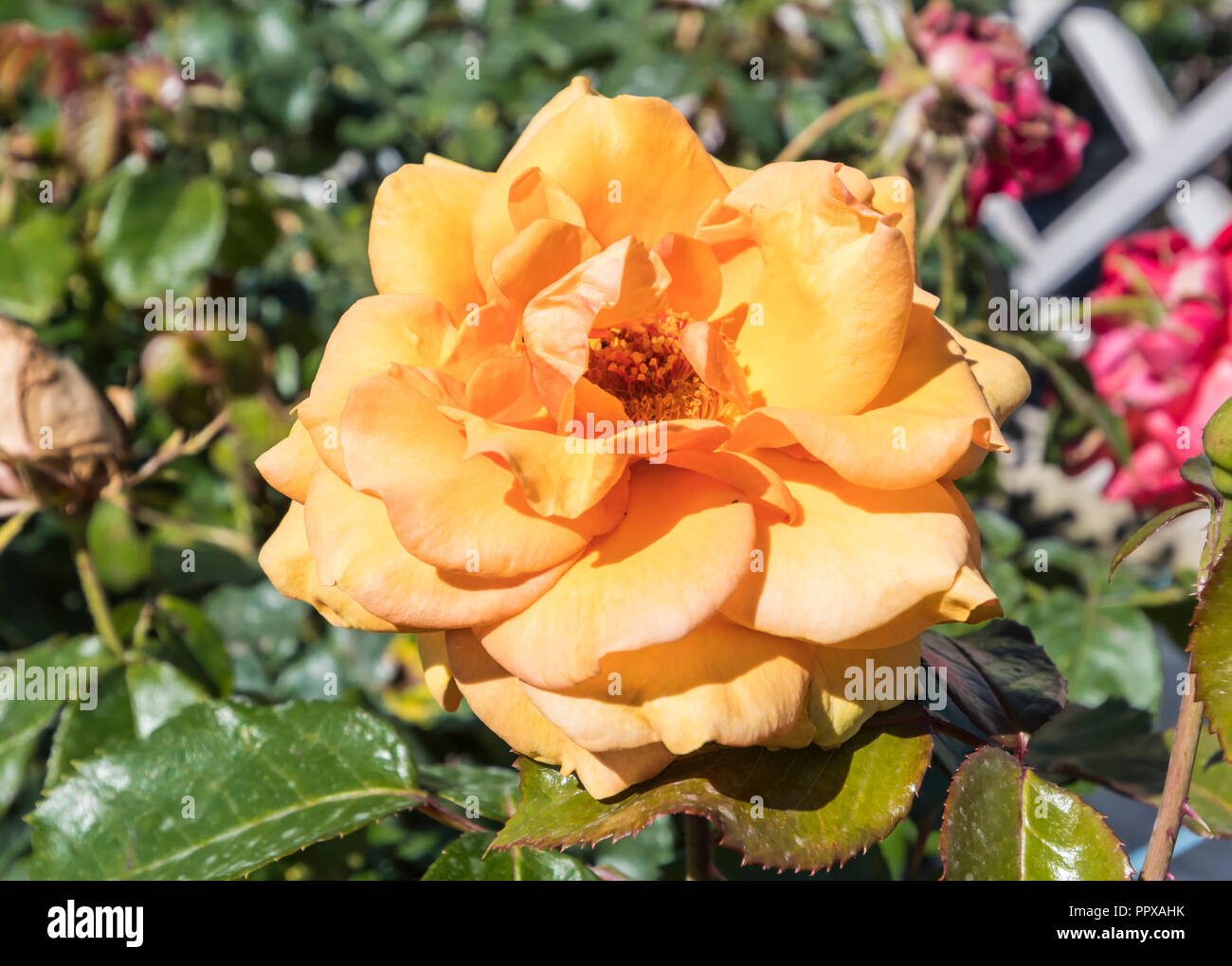 Orange Hybrid Tea 'Simply the Best' deciduous bush rose (AKA Rosa 'Simply the Best', Rose 'Macamster') in Summer in the UK. - Stock Image