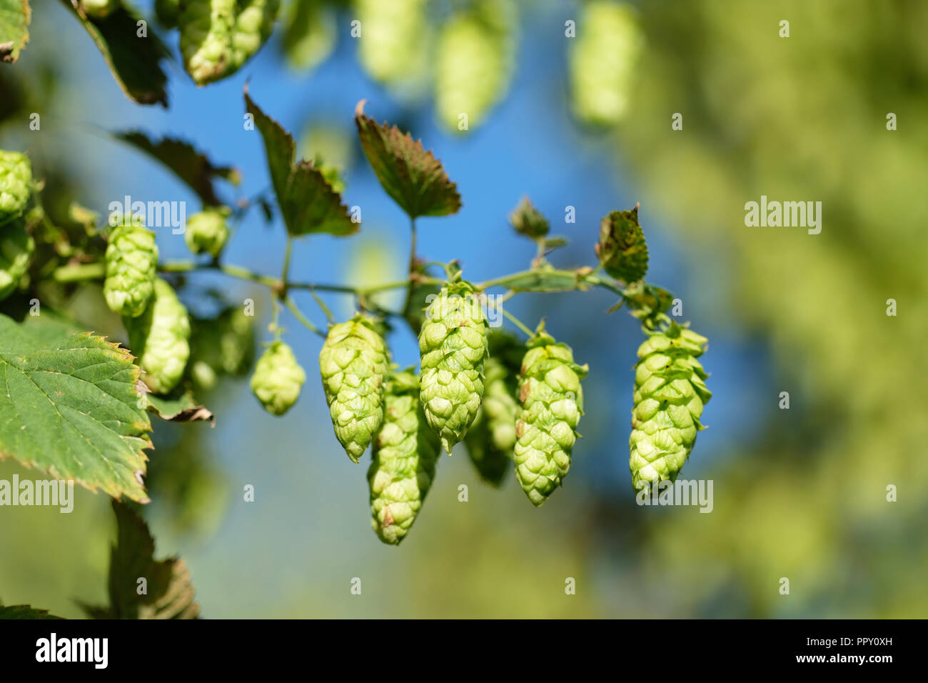 Stocks Farm, Suckley, Worcestershire - September 2018 -  Hops ready for harvest ( Jester variety ) in the fine Autumn sunshine with local temperatures of 16c - Approx 40% of this harvest will be exported to the USA - Photo Steven May / Alamy Live News - Stock Image