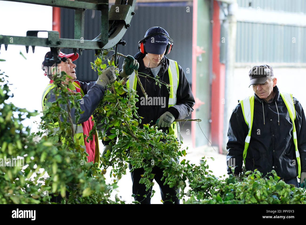 Stocks Farm, Suckley, Worcestershire - Friday 28th September 2018 -  EU seasonal workers from Poland and Bulgaria hanging cut hops ( Jester variety ) for cutting from the bine on an Autumn day- after a long hot dry summer this years hop yield is down on previous years. Growers face uncertainty over next years labour force as Brexit negotiations continue. Photo Steven May / Alamy Live News - Stock Image