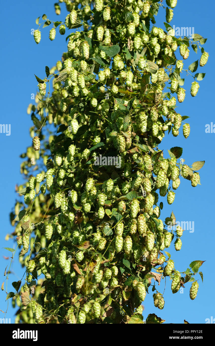 Stocks Farm, Suckley, Worcestershire - Friday 28th September 2018 - Hops ready for harvest ( Jester variety ) in the fine Autumn sunshine with local temperatures of 16c - after a long hot dry summer this years hop yeld is down on previous years. Approx 40% of this harvest will be exported to the USA . Photo Steven May / Alamy Live News - Stock Image