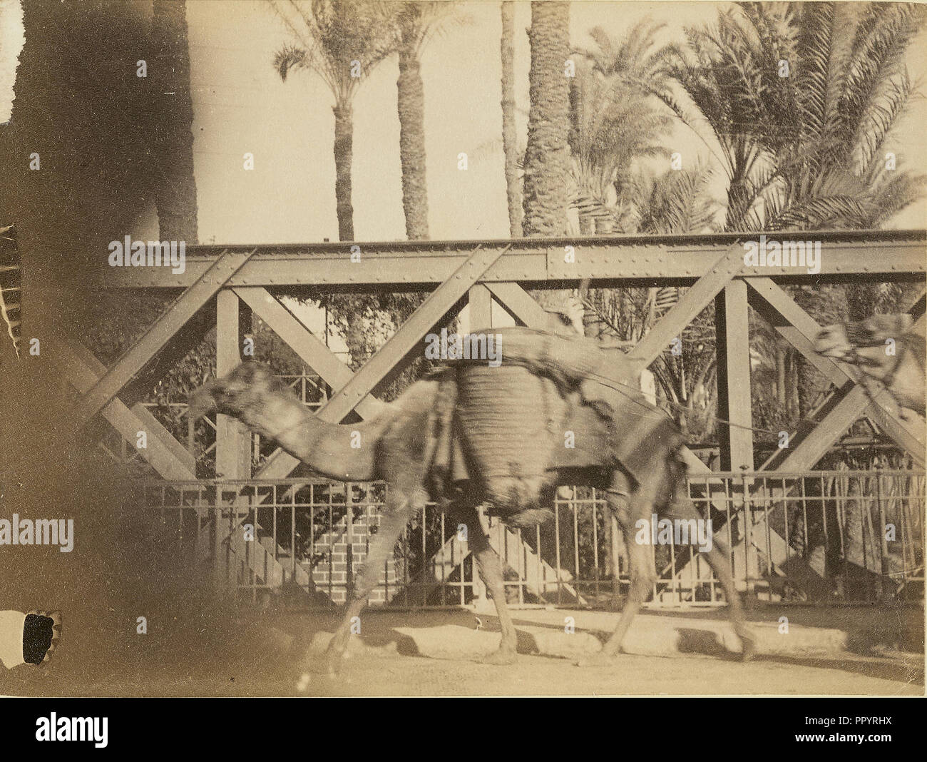Camels; about 1860 - 1880; Tinted Albumen silver print - Stock Image