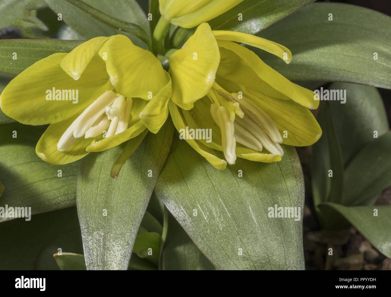Chitral Fritillary, Fritillaria chitralensis, from western Himalayas. - Stock Image