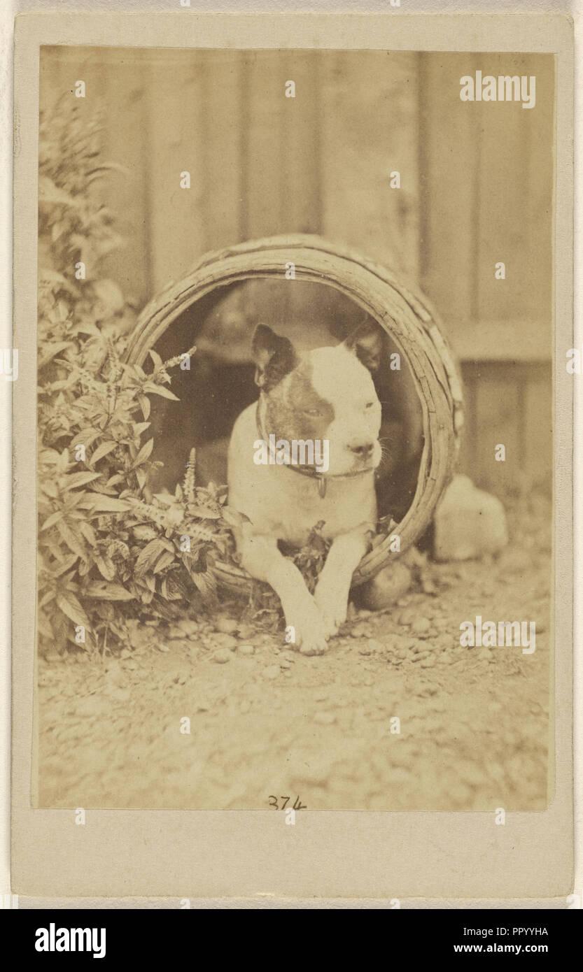 boston bulldog stock photos & boston bulldog stock images - alamy