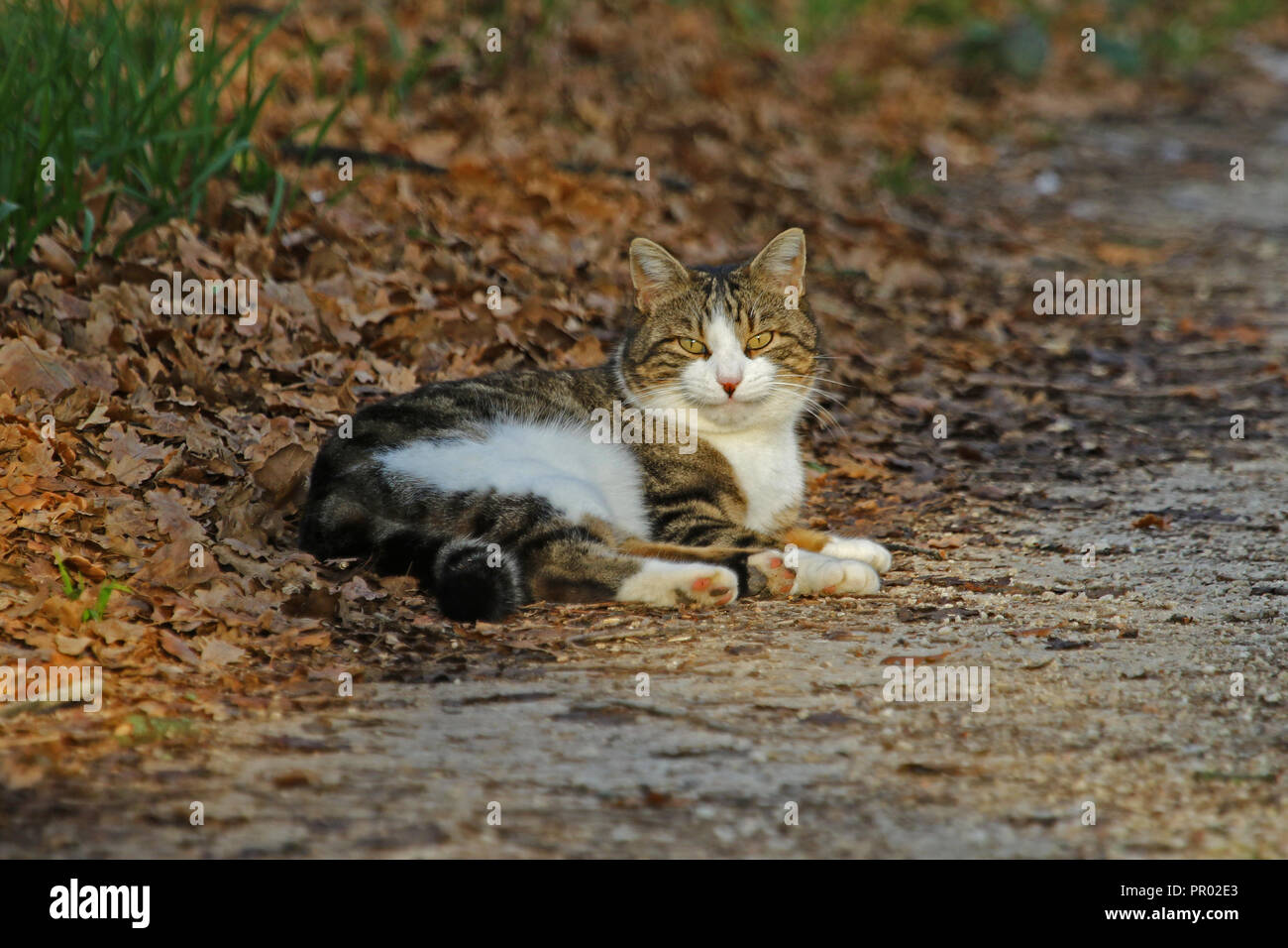 Sales mean a donation to Blue Cross animal charity. A tabby cat with a Cheshire cat smile in fall in Italy. Once abandoned in Colfiorito, Umbria now a - Stock Image