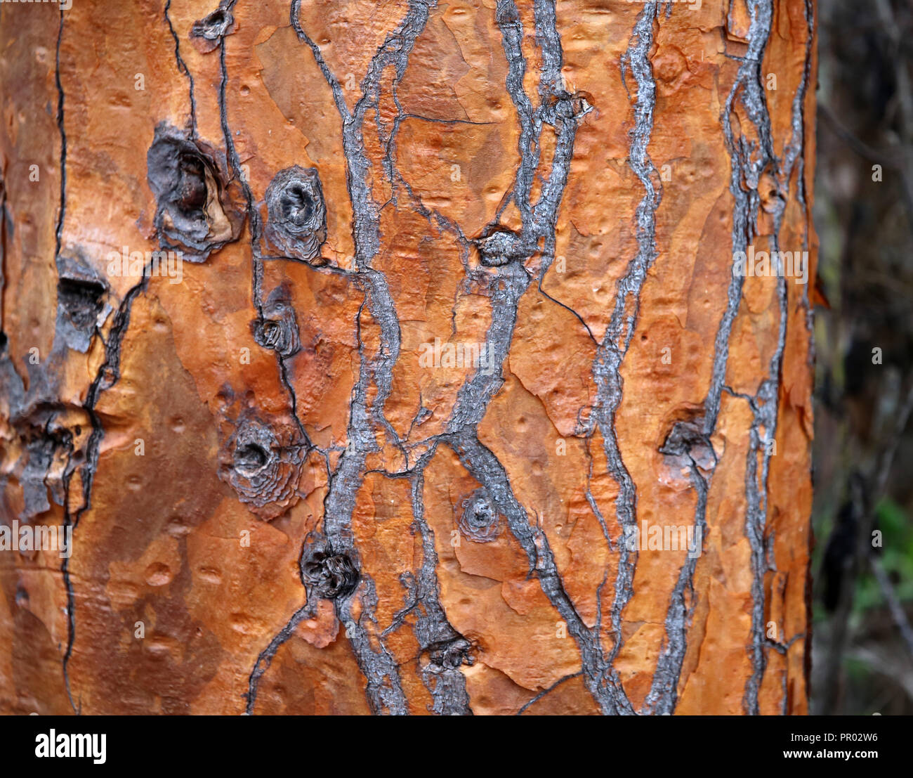 detail of cactus tree bark texture - Stock Image
