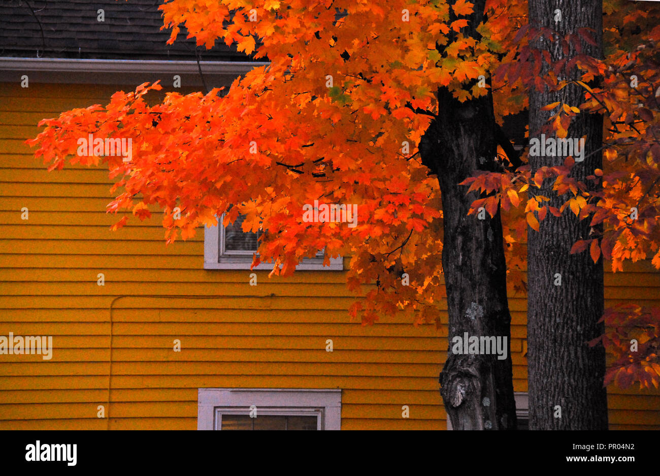 The bright orange colors of fall blending in with and complimenting similar house colors in Connecticut. Stock Photo