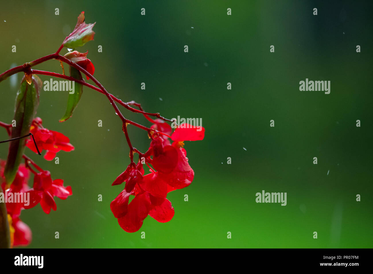 Red impatiens flower on green background in rain, isolated Stock Photo