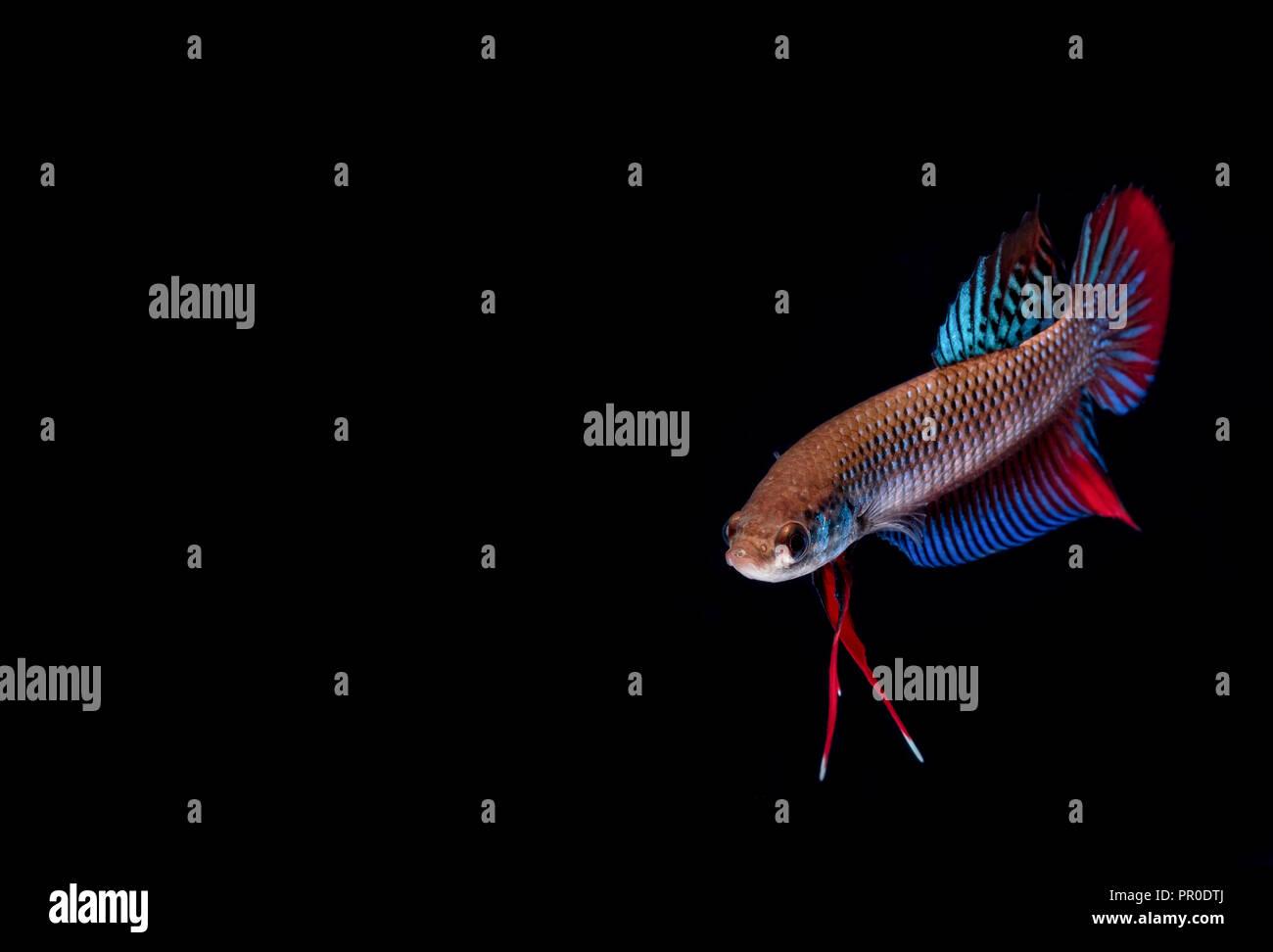 Betta Fish Fight In The Aquarium Stock Photo 220672386 Alamy
