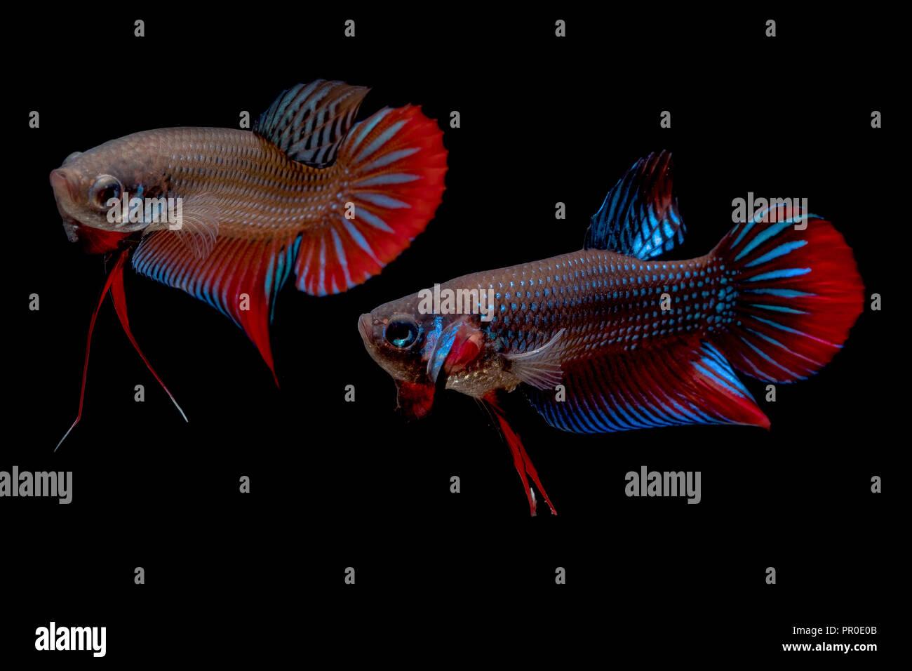 Betta Fish Fight In The Aquarium Stock Photo 220672491 Alamy