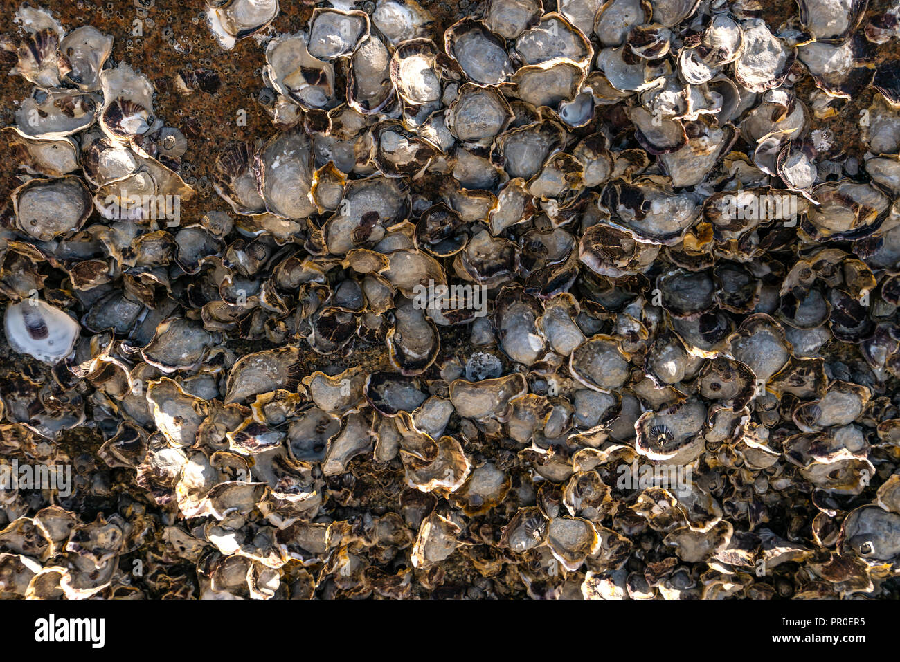 Oyster Shell carcass stuck on rocks background Stock Photo