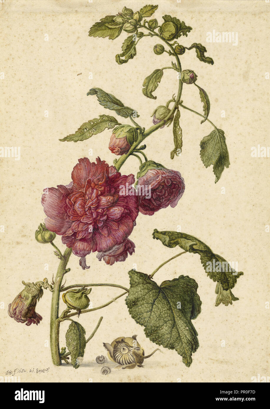 A Hollyhock; Herman Saftleven the Younger, Dutch, 1609 - 1685, Holland, Europe; September 21, 1682; Watercolor, gouache - Stock Image