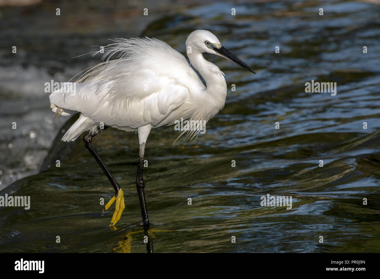 Little Egret on Yarkon River in Tel Aviv, Israel - Stock Image