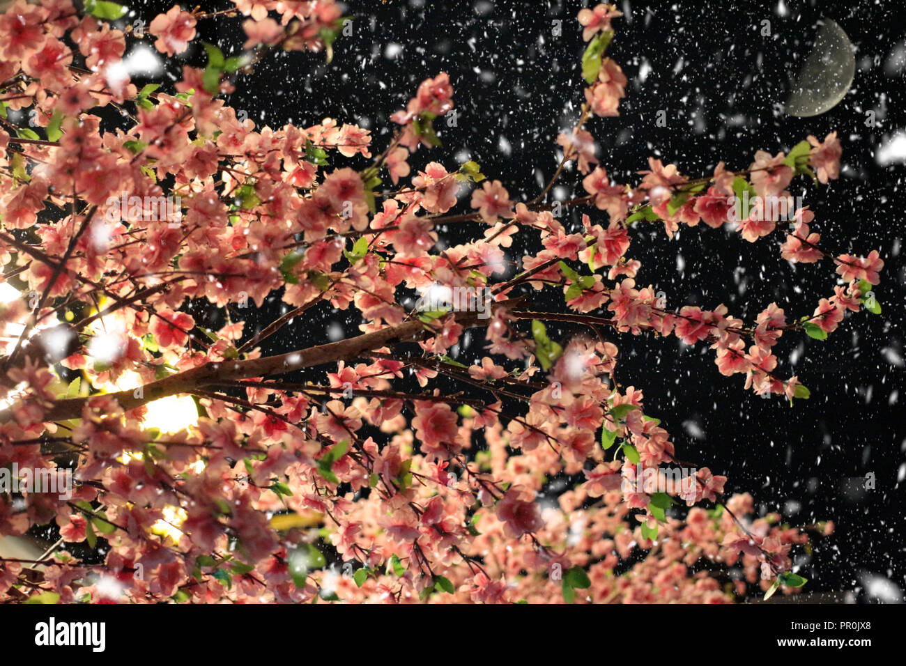 mock up sakura branch in a snow fall night are setup for shooting a movie - Stock Image