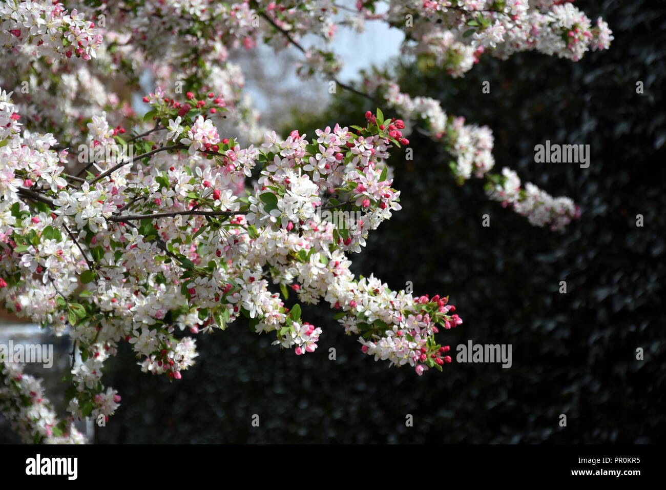 Pink White Cherry Blossom In Full Bloom Cherry Flowers In Small
