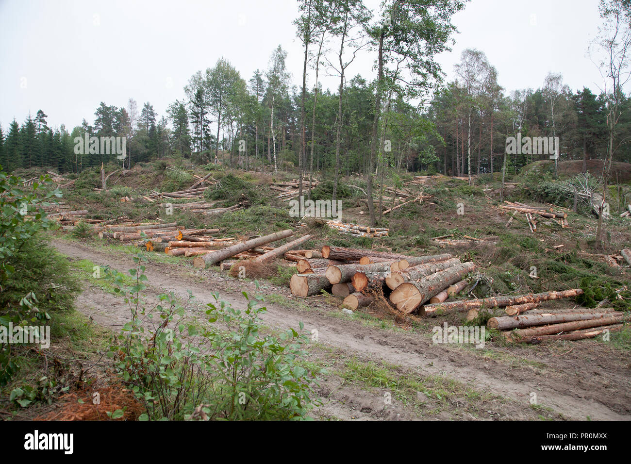 CUT TIMBER ,forestry vehicle has workt in forest with clearcutting a area - Stock Image
