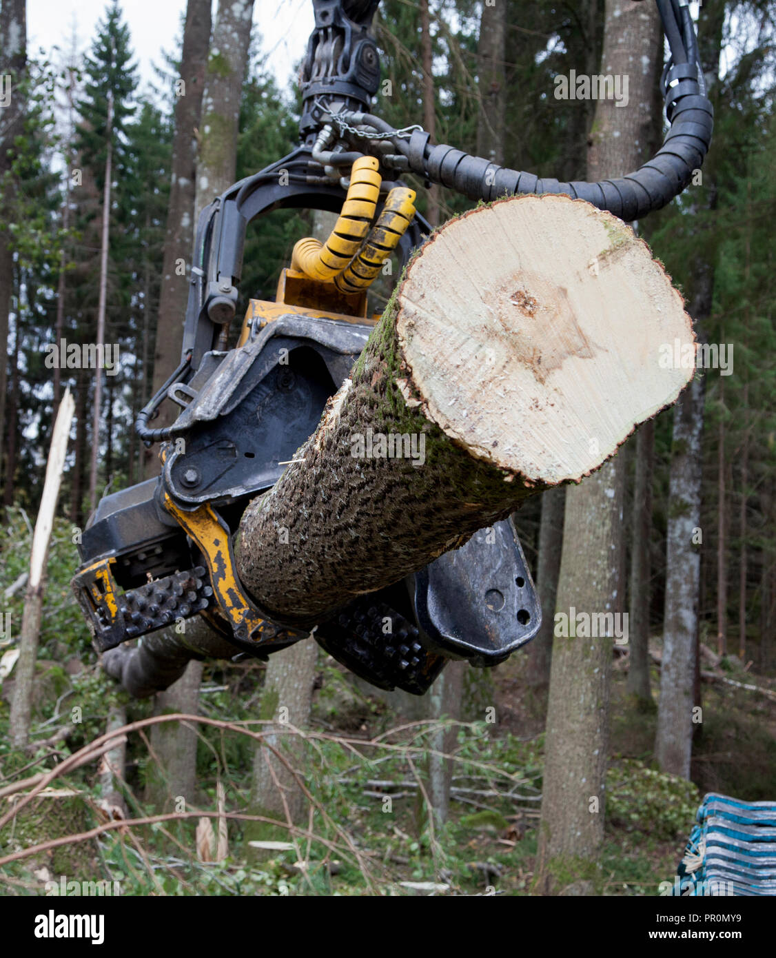 HARVESTER FORESTRY,forestry vehicle works in forest with clearcutting a area - Stock Image