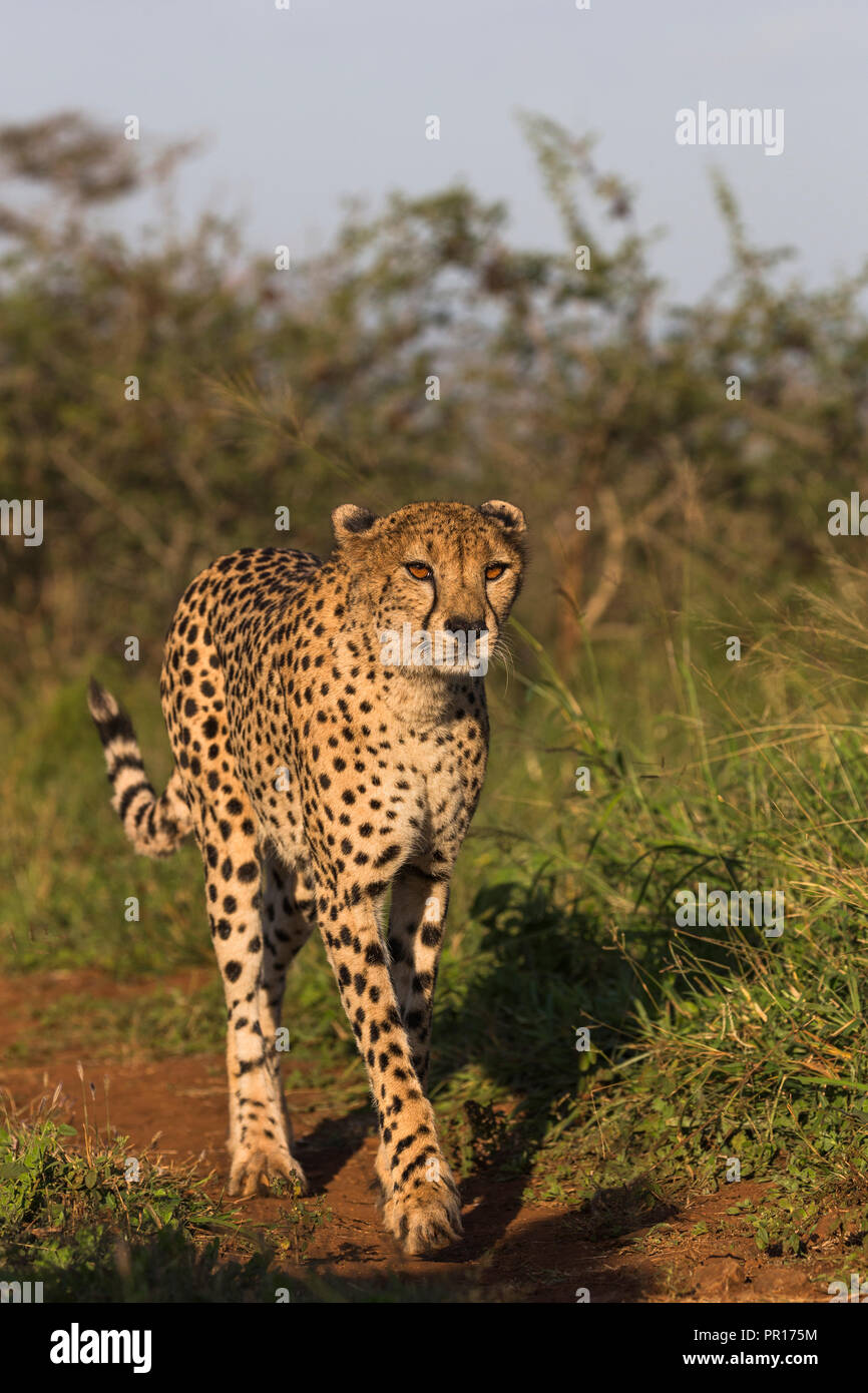 Cheetah (Acinonyx jubatus) female, Zimanga Private Game Reserve, KwaZulu-Natal, South Africa, Africa Stock Photo