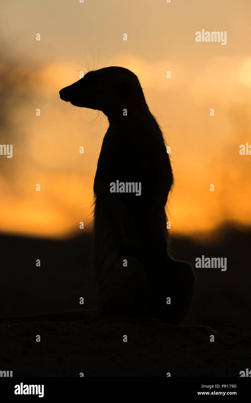 Meerkat (Suricata suricatta) silhouette, Kgalagadi Transfrontier Park, South Africa, Africa - Stock Image