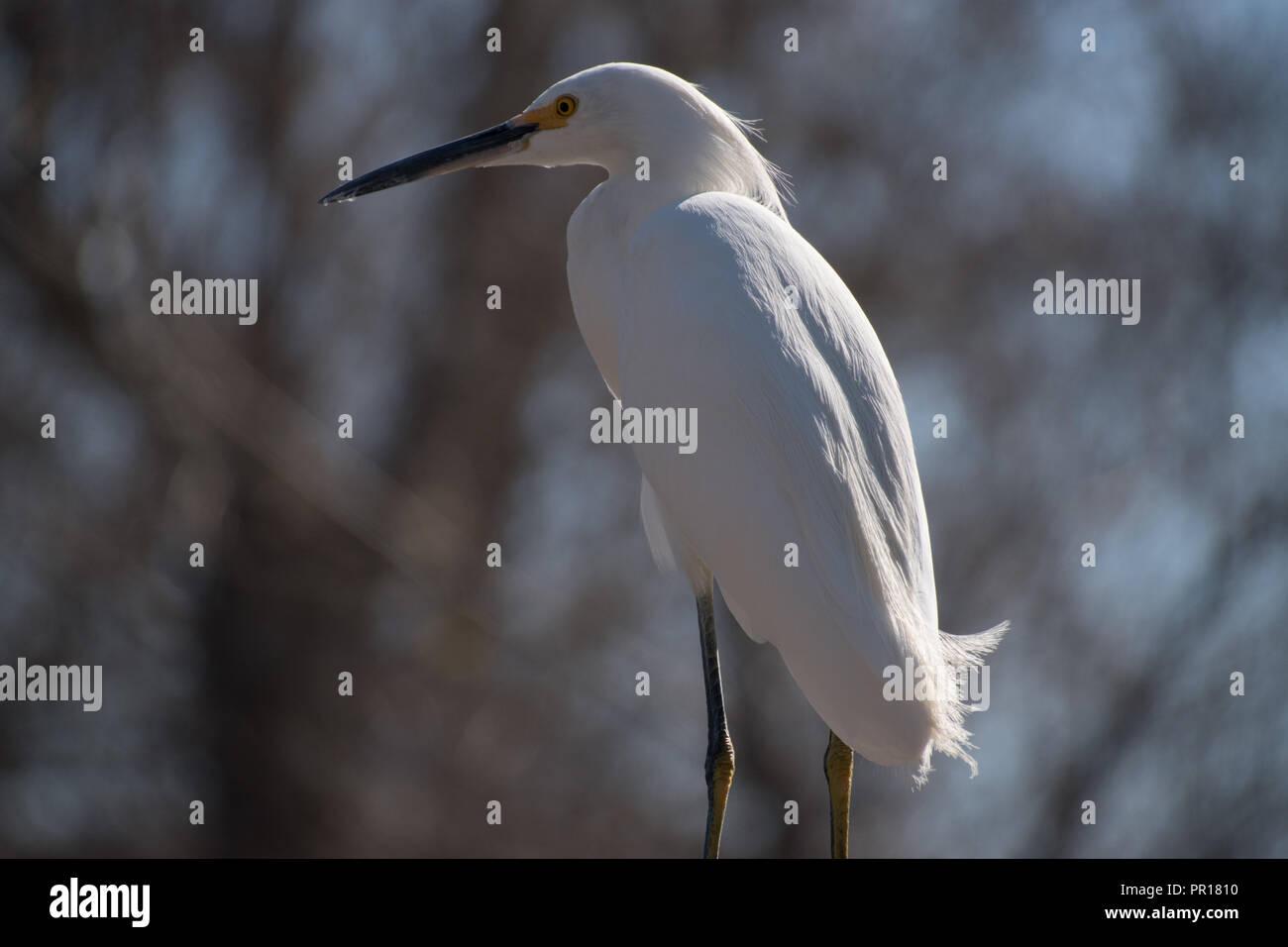 Egret against blurred background - Stock Image