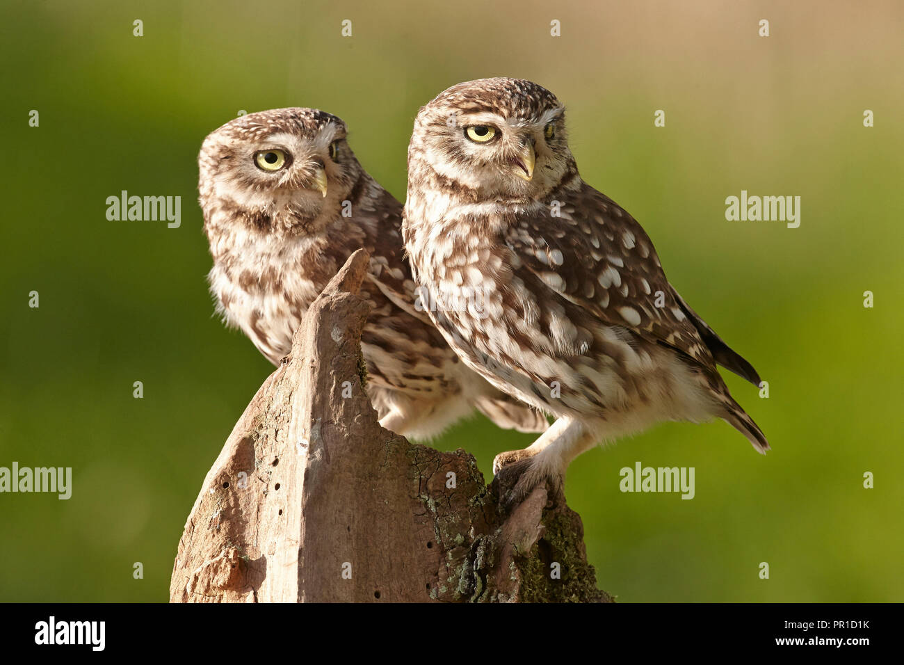 Two a pair of Little Owls, Athene noctua, East Yorkshire, UK - Stock Image