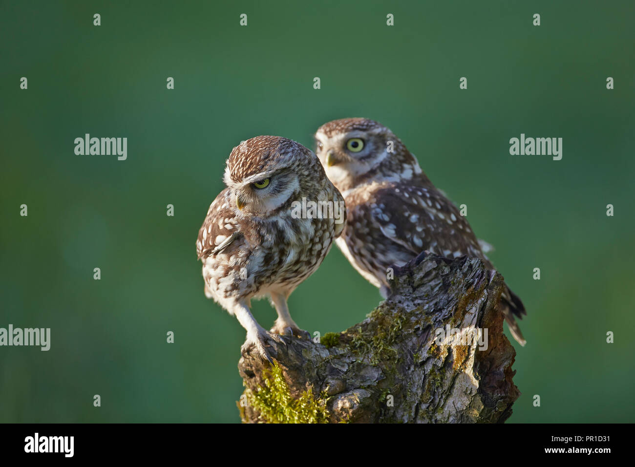 Two a pair of Little Owls, Athene noctua photographed at the Les Gibbon Little Owl photography hide, East Yorkshire. - Stock Image