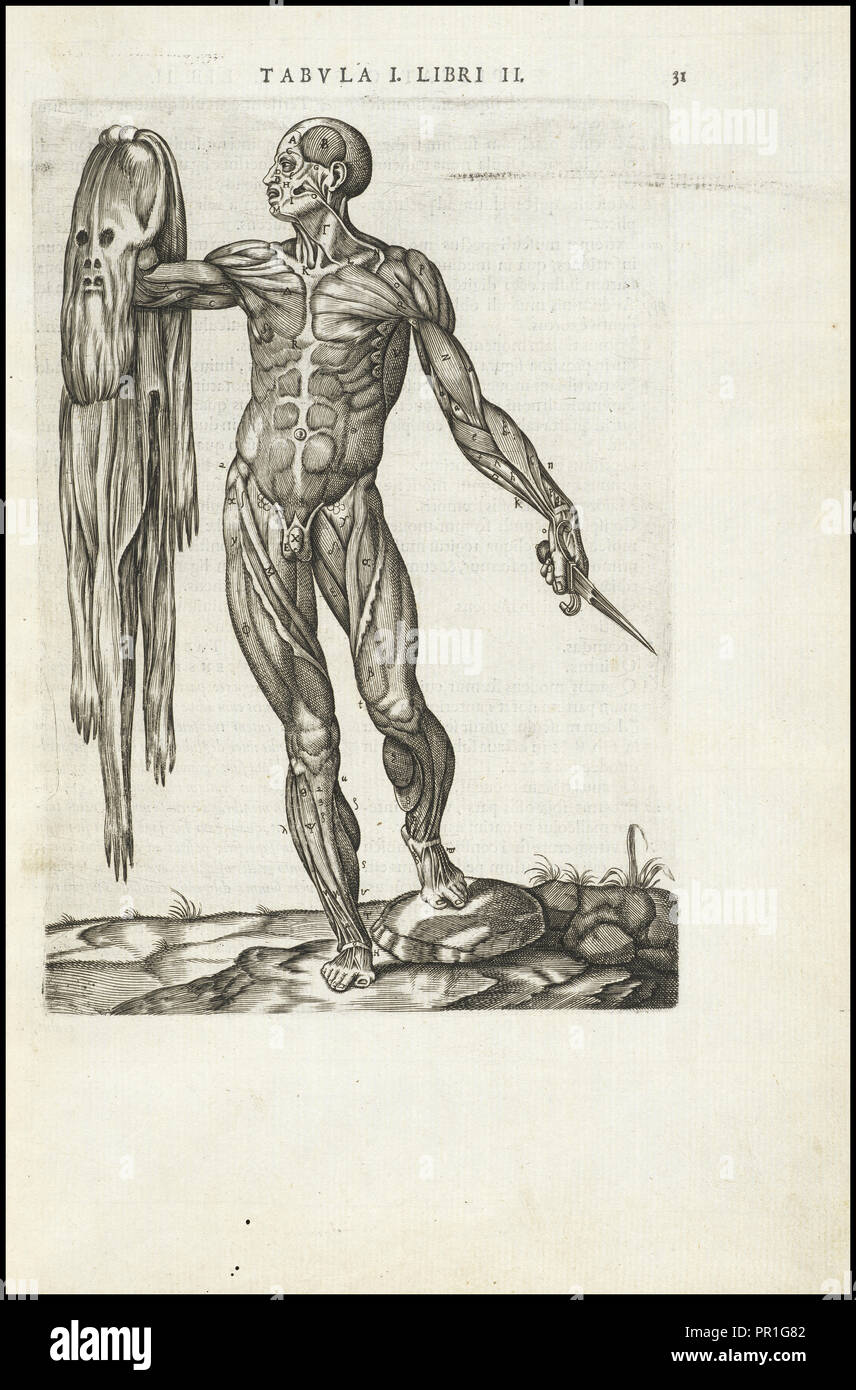 Male figure with skin removed, Vivae imagines partivm corporis hvmani aereis formis expressae, Vesalius, Andreas, 1514-1564 - Stock Image