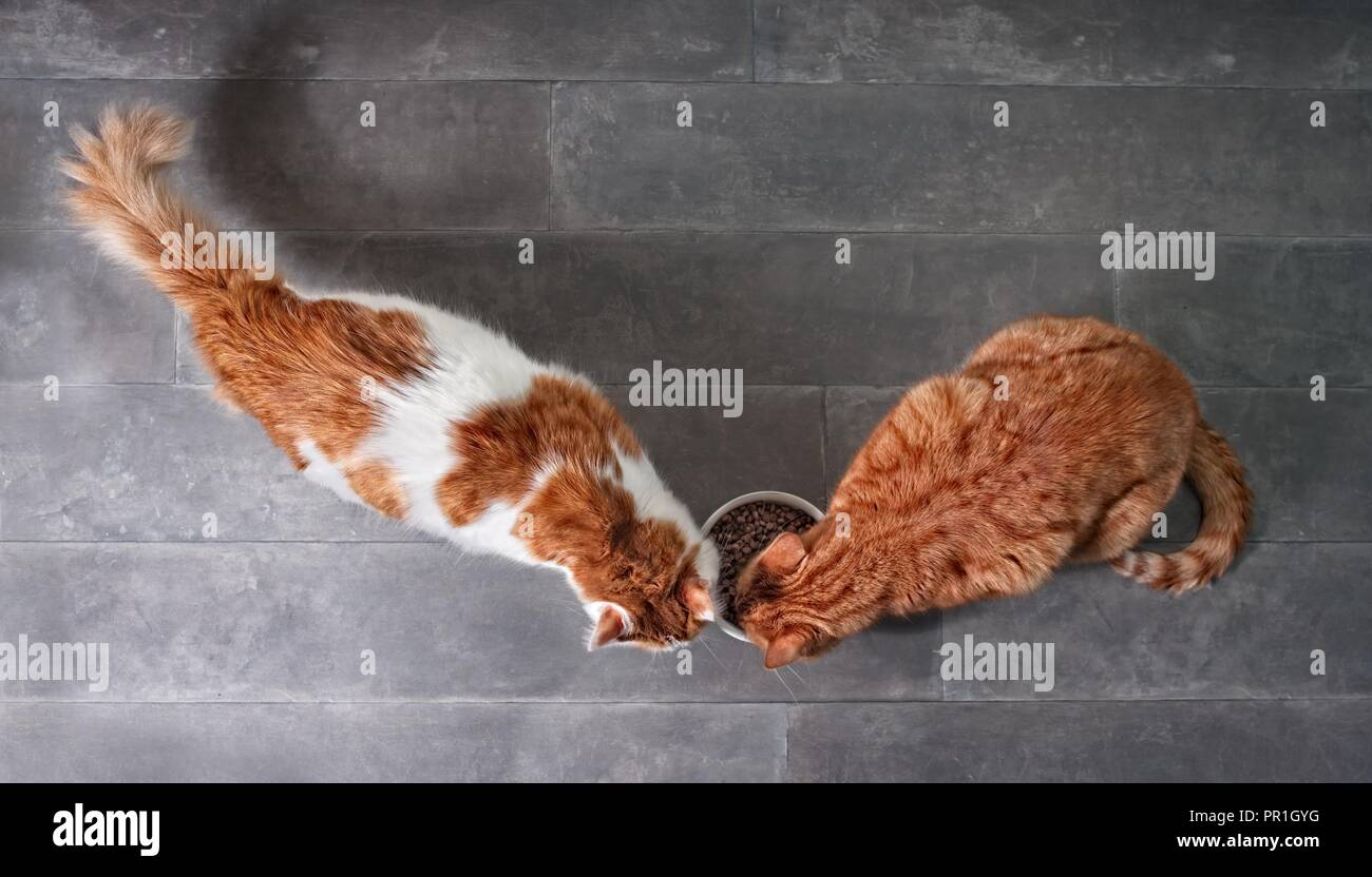 Two cute tabby cats eating together dry food from a white bowl seen from a high angle view on a stone background with copy space. - Stock Image