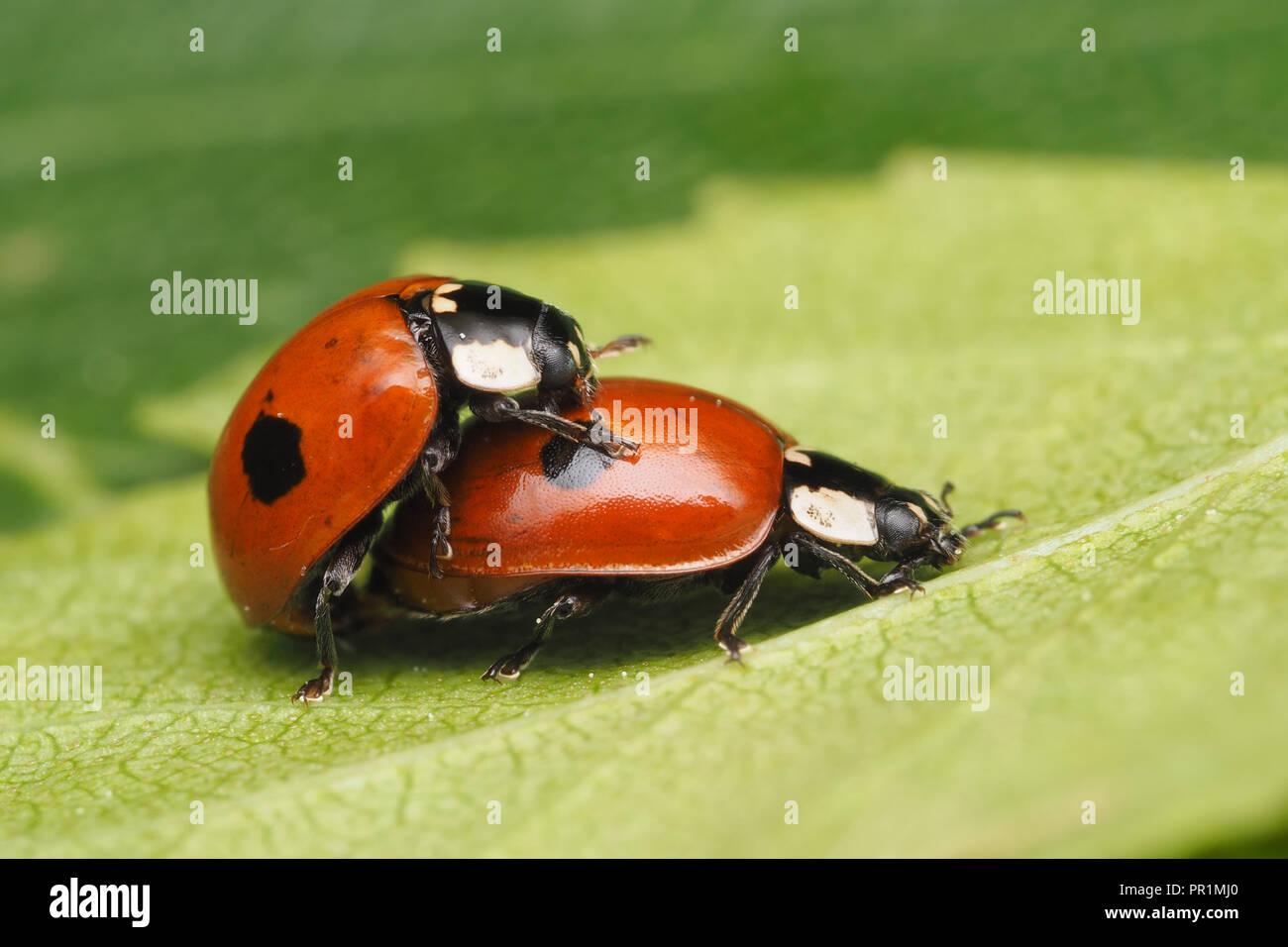 Mating 2 Spot Ladybirds Adalia Bipunctata On Underside Of Birch