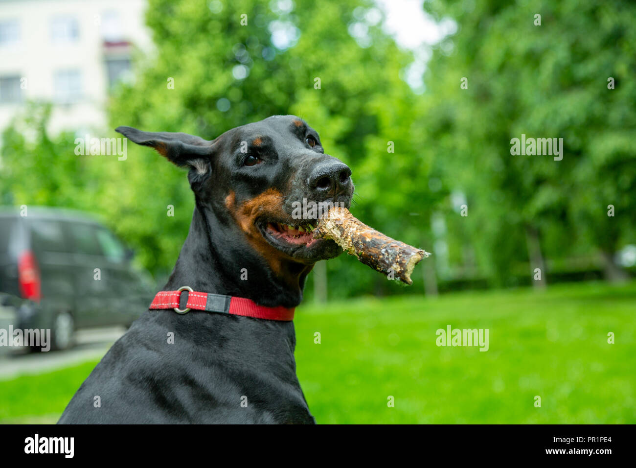 sits on the grass with a stick in his mouth - Stock Image